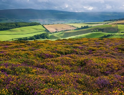 heather-gorse2 re Barry